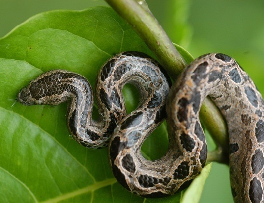 Picture of a isthmian dwarf boa (Ungaliophis continentalis)