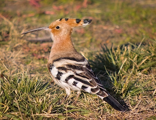 Picture of a hoopoe (Upupa epops)