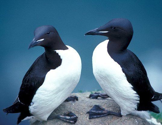 Picture of a thick-billed murre (Uria lomvia)