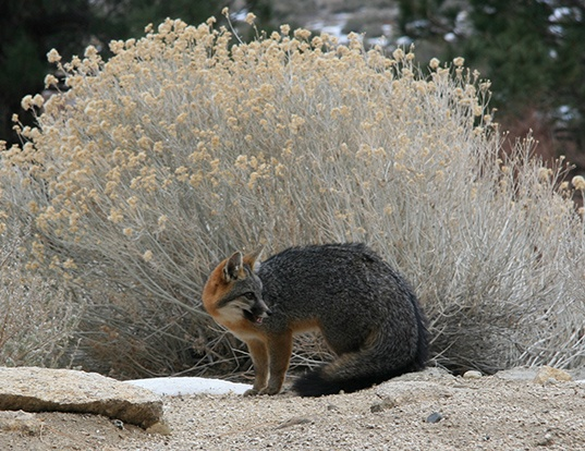 Picture of a gray fox (Urocyon cinereoargenteus)