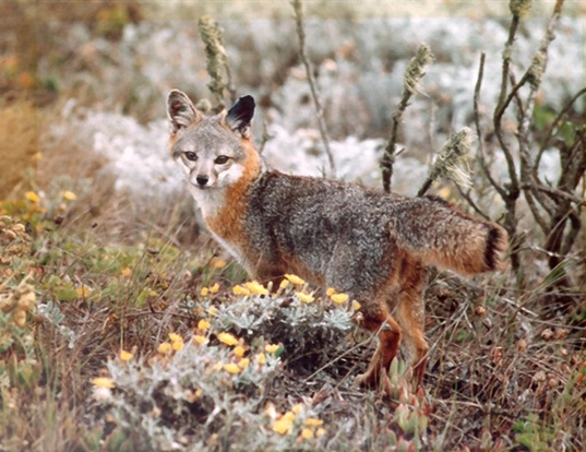 Picture of a island fox (Urocyon littoralis)