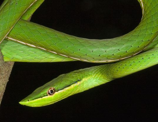 Picture of a pointed snake (Uromacer oxyrhynchus)