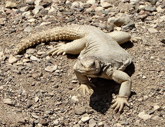 Picture of a egyptian spiny-tailed lizard (Uromastyx aegyptia)