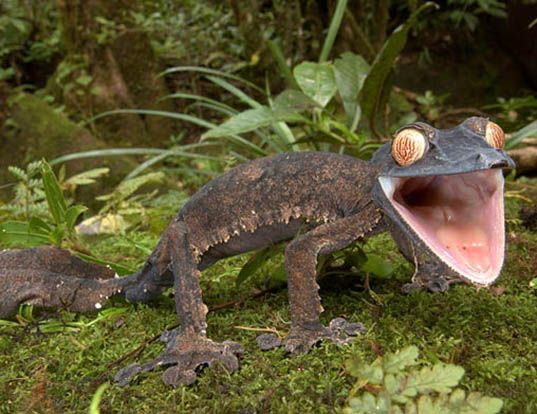 Picture of a madagascar geckoid lizard (Uroplates fimbriatus)