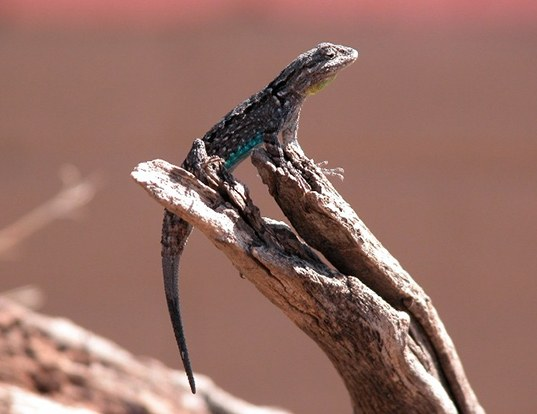 Picture of a ornate tree lizard (Urosaurus ornatus)
