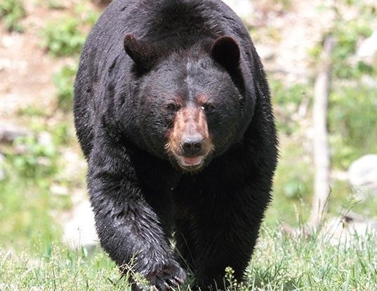 Picture of a american black bear (Ursus americanus)