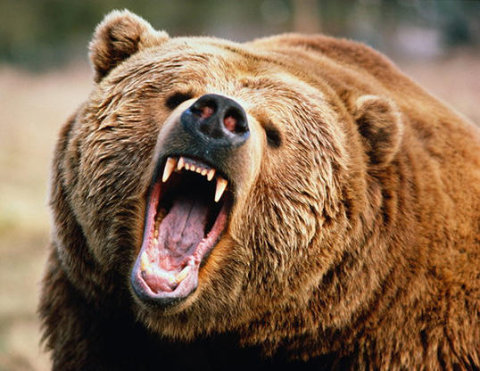 Picture of a brown bear and grizzly bear (Ursus arctos)