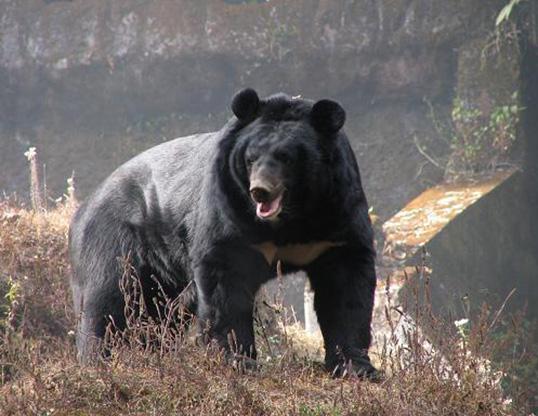 Picture of a asiatic black bear (Ursus thibetanus)