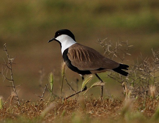 Picture of a spur-winged lapwing (Vanellus spinosus)