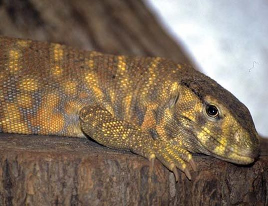 Picture of a indian yellowish waral lizard (Varanus flavescens)