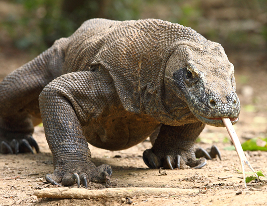 Picture of a komodo dragon (Varanus komodoensis)