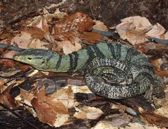 Picture of a gray's monitor lizard (Varanus olivaceus)