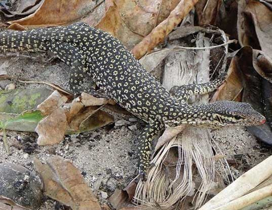 Picture of a spotted tree monitor (Varanus timorensis)