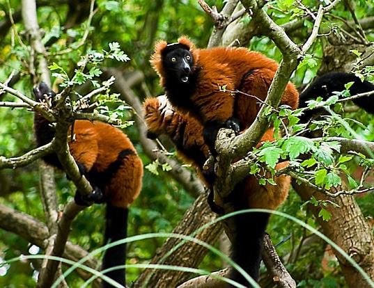 Picture of a red ruffed lemur (Varecia rubra)