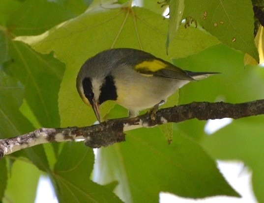 Picture of a golden-winged warbler (Vermivora chrysoptera)