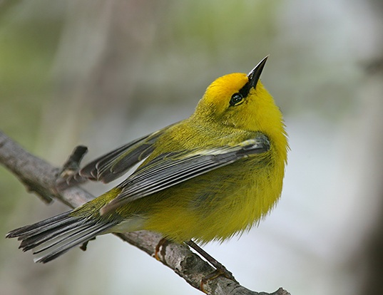 Picture of a blue-winged warbler (Vermivora cyanoptera)