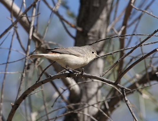 Picture of a lucy's warbler (Vermivora luciae)