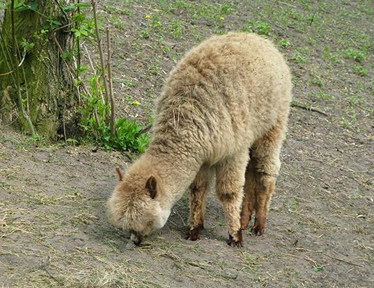 Picture of a alpaca (Vicugna pacos)