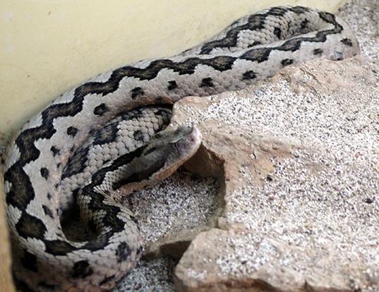 Picture of a lataste's viper (Vipera latastei)