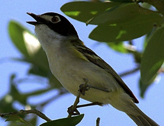 Picture of a black-capped vireo (Vireo atricapilla)