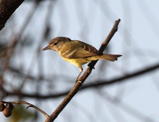 Picture of a bell's vireo (Vireo bellii)