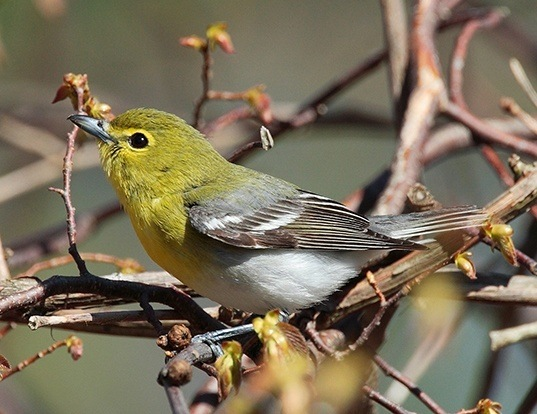 Picture of a yellow-throated vireo (Vireo flavifrons)
