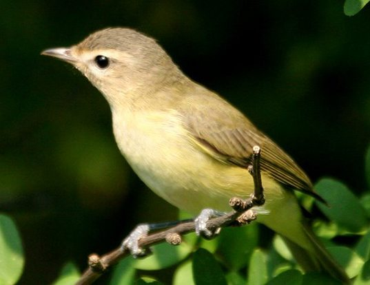 Picture of a warbling vireo (Vireo gilvus)