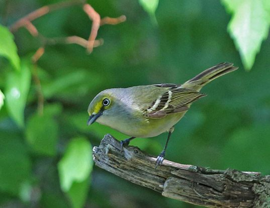 Picture of a white-eyed vireo (Vireo griseus)
