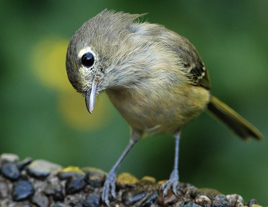 Picture of a hutton's vireo (Vireo huttoni)
