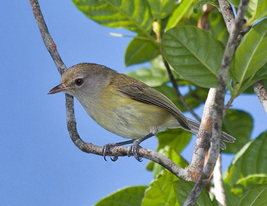 Picture of a puerto rican vireo (Vireo latimeri)
