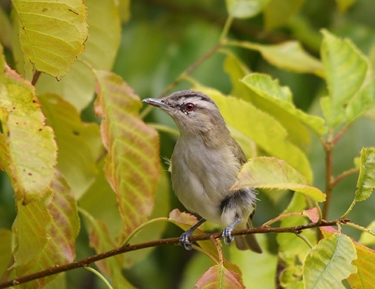 Picture of a red-eyed vireo (Vireo olivaceus)