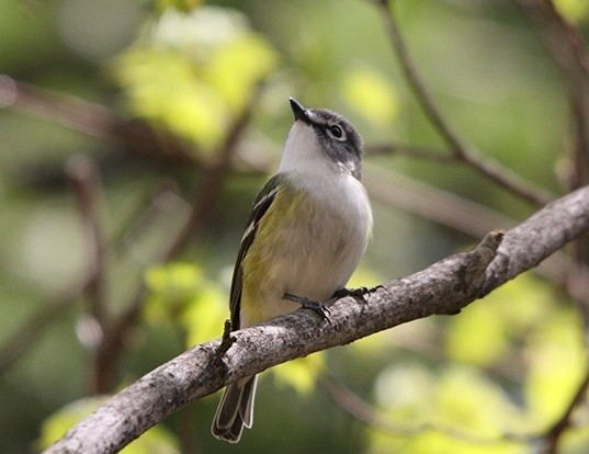 Picture of a solitary vireo (Vireo solitarius)