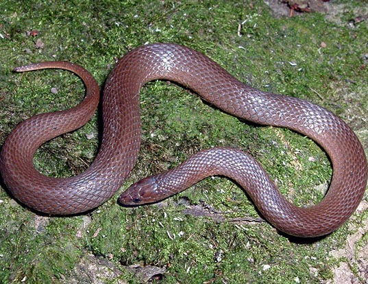 Picture of a rough earth snake (Virginia striatula)