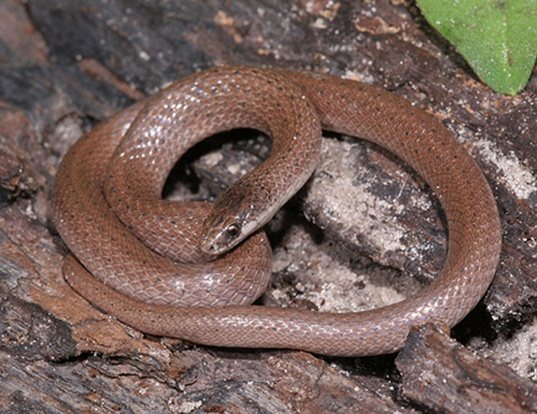 Picture of a smooth earth snake (Virginia valeriae)