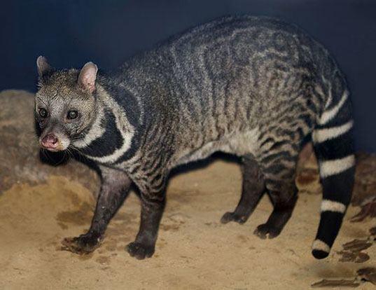 Picture of a malabar civet (Viverra civettina)