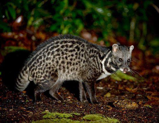 Picture of a malay civet (Viverra tangalunga)