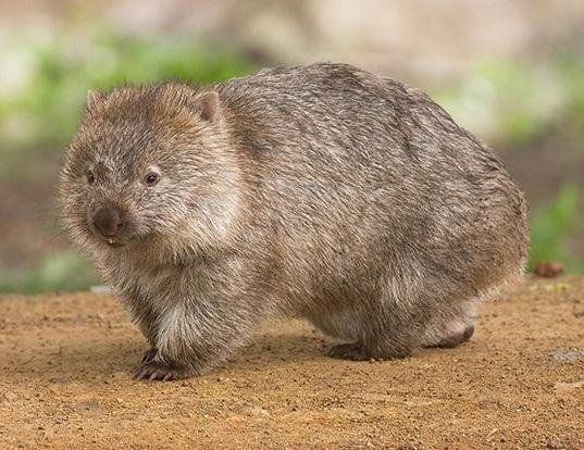 Picture of a wombat (Vombatus ursinus)