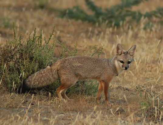 Picture of a bengal fox (Vulpes bengalensis)