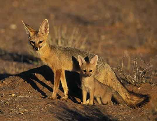 Picture of a cape fox (Vulpes chama)