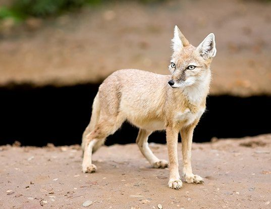 Picture of a corsac fox (Vulpes corsac)