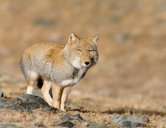 Picture of a tibetan fox (Vulpes ferrilata)