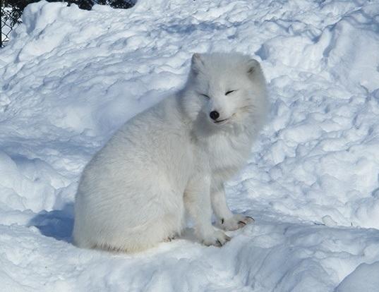 Picture of a arctic fox (Vulpes lagopus)