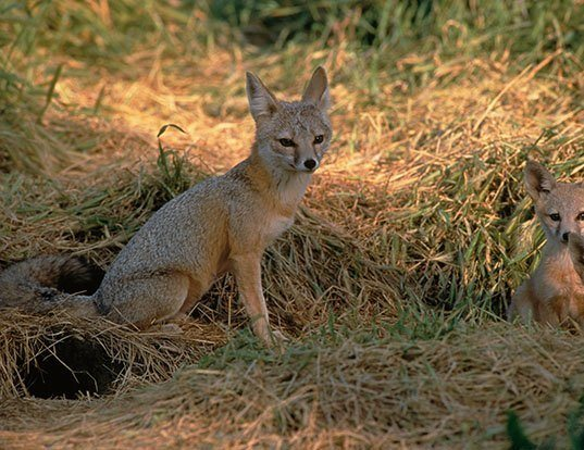 Picture of a kit fox (Vulpes macrotis)