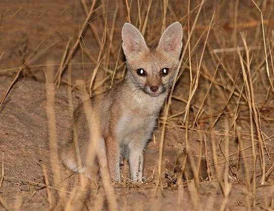 Picture of a pale fox (Vulpes pallida)