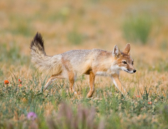 Picture of a swift fox (Vulpes velox)