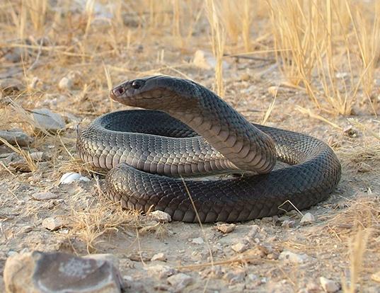 Picture of a black desert cobra (Walterinnesia aegyptia)