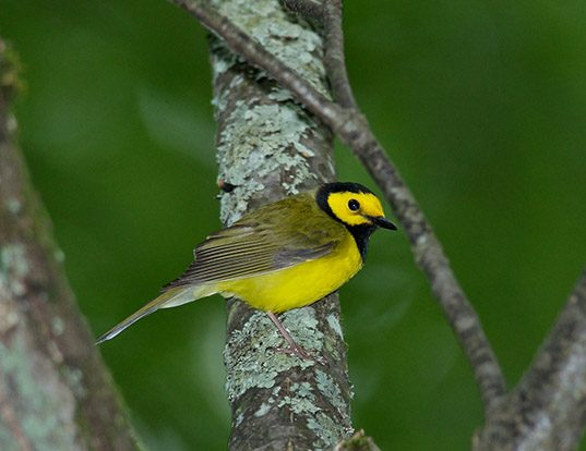 Picture of a hooded warbler (Wilsonia citrina)