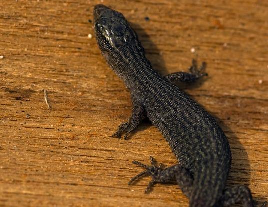 Picture of a desert night lizard (Xantusia vigilis)