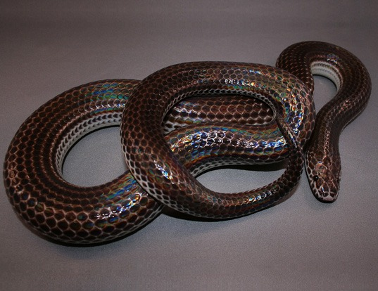 Picture of a sunbeam snake (Xenopeltis unicolor)