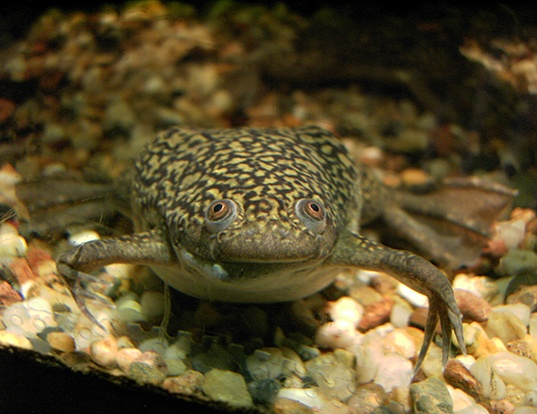 Picture of a platanna (Xenopus laevis)